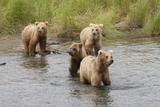 Brown(Grizzly) Bear Mother and Two Year Old Cubs