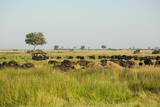 Family of African Buffalo