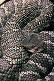 Crotalus Viridis ( Prairie Rattlesnake)