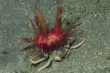 Urchin Carry Crab with Radiant Seas Urchin