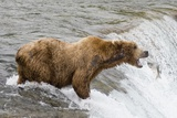 Salmon Leaps into the Mouth of a Brown (Grizzly) Bear