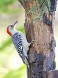 Red-Beilled Woodpecker