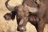 Yellow-Billed Oxpecker and Water Buffalo
