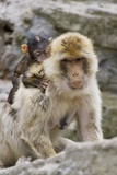 A Barbary Macaque Baby on the Back of the Mother Animal