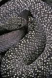 Crotalus Vegrandis (Urocoan Rattlesnake)