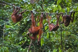 A Group of Orangutans (Pongo Pygmaeus) at the Sepilok Orangutan Rehabilitation Center