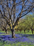 Grape Hyacinth Flowers in Orchard