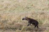 Spotted Hyaena Cub