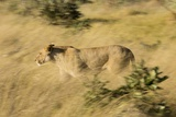 African Lioness in Motion