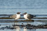 View of Laughing Gull Standing in Water