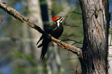 Pileated Woodpecker on Cypress Tree Branch