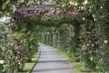 Arbor of Roses