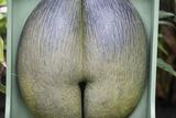 Coco De Mare Nut