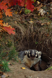 Badger Looking out from Den