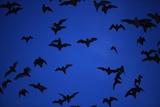 Mexican Freetail Bats near Bracken Cave