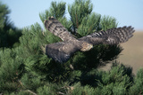 Young Northern Goshawk Flying from Ponderosa Pine