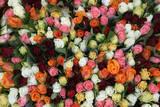 Roses at Albert Kuyp Market
