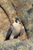 Female Peregrine Falcon on Granite Cliff