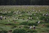 Laysan Albatross Nesting Grounds