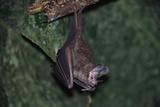 Hanging Fringe-Lipped Bat