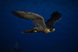 Peregrine Falcon Flying over a Lake