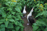 Laysan Albatross Courting