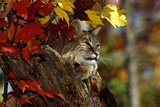 Bobcat Resting in a Tree