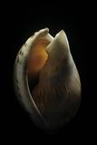 Casmaria Erinaceus Kalosmodix