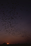 Mexican Freetail Bats at Night