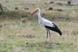 White Stork  Okavango Delta