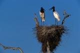 Jabiru Storks Standing on a Nest