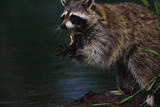 Raccoon Eating a Leopard Frog