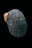 Nerita Scabricostata