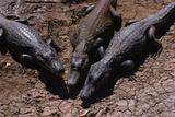 Black Caimans Sunbathing