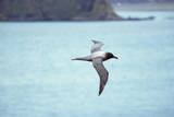 Light Mantled Sooty Albatross in Flight