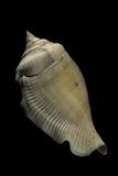 Strombus Gibberulus