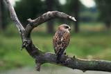 Female Swainson's Hawk on Snag