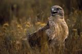 Ferruginous Hawk in Prairie Grass