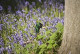 Duck in Bluebells