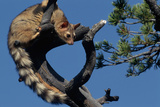 Ringtail Sitting in Pine Tree