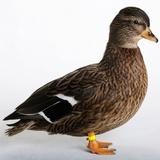 Roen Clair Duck