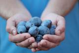 Man in Blue T-Shirt Holds Plum Fruits in His Palms