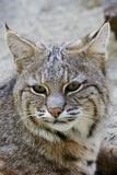 Bobcat Closeup