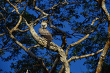 Young Harpy Eagle Perched in Tree