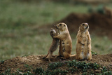 Black-Tailed Prairie Dog Family