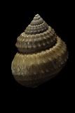 Bathybembix Bairdii