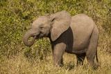 Elephant Calf  South Africa
