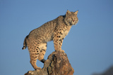 Bobcat Perched on Rocky Outcrop