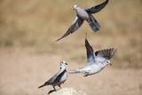 Cape Turtle Doves  South Africa