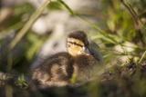 Duckling in Undergrowth